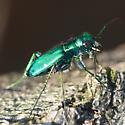 Six-spotted tiger beetle ??? - Cicindela sexguttata