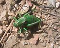 Mormon Cricket - Anabrus simplex - female