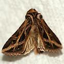 Girdler - moth emerged - Dargida procinctus