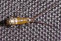 Large Springtail - Pogonognathellus dubius