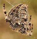 Orb Weaver - Araneus gemmoides - female