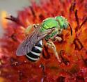 Agapostemon virescens?   - Agapostemon virescens - female