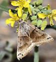 moth - Caenurgina crassiuscula