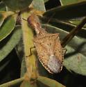 Pentatomidae, dorsal - Euschistus variolarius