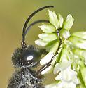 ChestnutBlackSphecidae - Prionyx