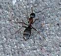 Camponotus?  - Camponotus vicinus