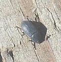 Blapstinus; possibly moestus - Blapstinus