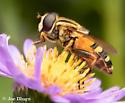 Fly on Flower  - Helophilus fasciatus
