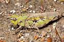 Painted Meadow Grasshopper - Chimarocephala pacifica - female