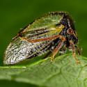 Unknown Treehopper - Ceresa