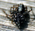 Oxyopidae? - Oxyopes scalaris - female
