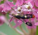 Synanthedon acerrubri - Red Maple Borer Moth? - Synanthedon acerrubri