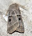Unknown moth - Agnorisma bollii - male