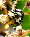Black and yellow beetle - Trigonopeltastes floridanus