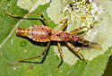 Your guess is better than mine. - Hoplistoscelis pallescens - male