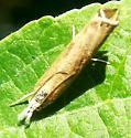 Crambine Snout Moth - Grass-Veneers - Parapediasia teterrellus