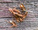 Mixed vespids? - Polistes