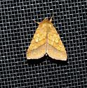 Bordered Sallow - Pyrrhia cilisca