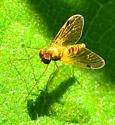 small golden snipe fly? - Chrysopilus modestus - male