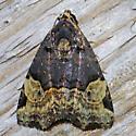 moth - Ozarba catilina