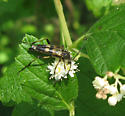 Cerambycidae 8-02-09 03a - Etorofus obliteratus