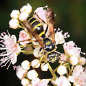wasp - Gorytes