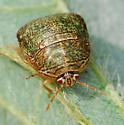 bean plataspid - Megacopta cribraria