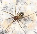 small spider - Bathyphantes brevis