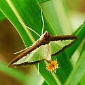 Maybe a Melonworm moth (Diaphania hyalinata). - Diaphania hyalinata