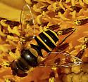Bee on Sunflower - Eristalis transversa