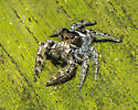 Somehwere in the Phidippus putnami group of jumping spiders? - Phidippus putnami - male