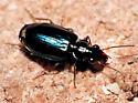 Small Ground Beetle - Coptodera aerata