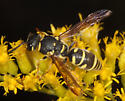 wasp - Parancistrocerus leionotus - female