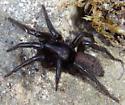Black spider - Gnaphosa