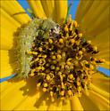 Larva on Maximilian sunflower