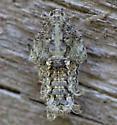 030512.1Nymph - Flatoidinus punctatus