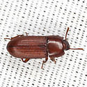 Red Beetle - Uloma punctulata
