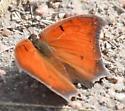 Gootweed Anglewing? - Anaea andria - male