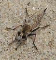 Robber Fly - Efferia - female