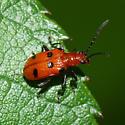 Leaf beetle 6 - Neolema sexpunctata