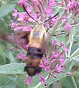 Hummingbird moth? - Hemaris diffinis