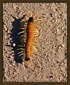 Giant Desert Centipede - Scolopendra heros