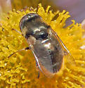 Syrphidae: Eristalinus (Lathyrophthalmus) aeneus? - Eristalinus aeneus - male