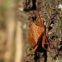 Some kind of stink bug? - Apoecilus cynicus