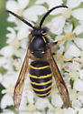yellowjacket - Dolichovespula norvegicoides