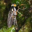 Fly - Hercostomus