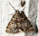 Confusing Petrophila Moth - Petrophila confusalis