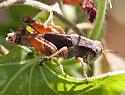 Acrididae-Phoetaliotes ? - Aidemona azteca - male
