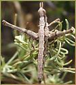 Unusual grasshopper species - Morsea tamalpaisensis - female