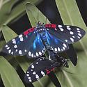 Faithful Beauty - Composia fidelissima - male - female